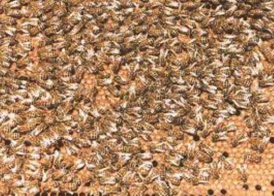 Sahibinden Satılık 130 Kovan Bal Arısı