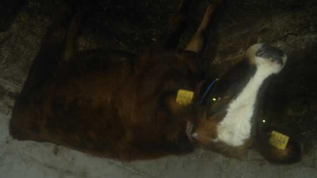 satılık inek, iki adet biri simental diğerlerini yerli dana