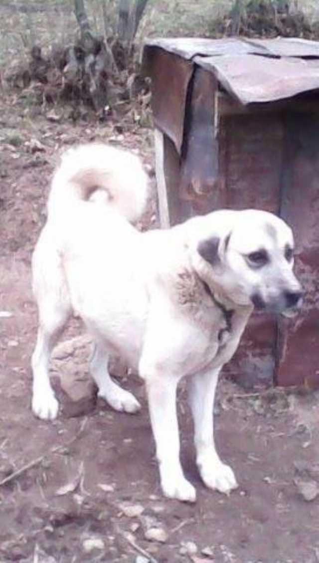 Satılık Kangal Yetişmiş Eğitimli Kangak Köpek Satılıktır