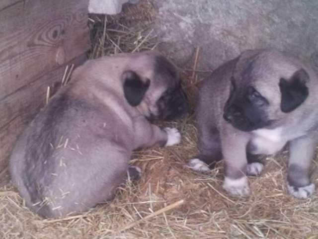Sivas Kangal Yavrusu Üretim Çiftliği