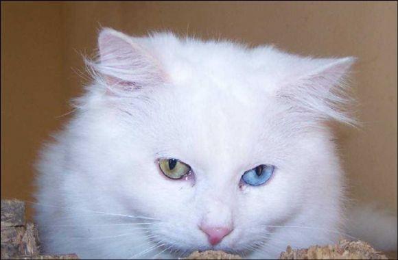 Van Kedileri Beyaz Sarı Mavi Gözlü Van Kedileri